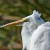 Description - Great Egret <b>Title - Back to the Wind</b> <i>- Jeremy Young</i>