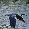 Description - Little Blue Heron in Flight <b>Title - Little Blue Heron</b> <i>- Howard Bernstein</i>