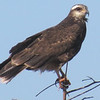 Description - Female Snail Kite <b>Title - Female Snail Kite</b> <i>- Mark Ladenson</i>