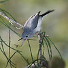 Description - Blue-Gray Gnatcatcher Catching Insect <b>Title - Gnatcatcher with Insect</b> Best in Show <i>- Ruth Pannunzio</i>