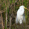 Description - Great Egret <b>Title - Ready for the Big Date</b> <i>- Jeremy Young</i>