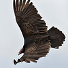 Description - Turkey Vulture  <b>Title - Turkey Vulture</b> Honorable Mention <i>- Arthur Jacoby</i>