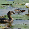 Description - Pied-Billed Grebe and White Water Lily <b>Title - Tugboat</b> <i>- Jeremy Young</i>