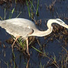 Description - Great Blue Heron <b>Title - Great Blue Heron</b> <i>- Mark Ladenson</i>