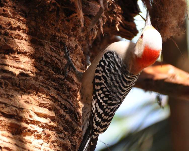 Description - Red-Bellied Woodpecker <b>Title - Red-Bellied Woodpecker</b> <i>- Howard Bernstein</i>
