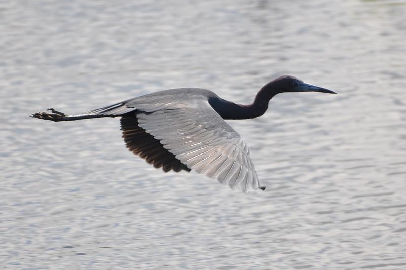 Description - Little Blue Heron in Flight <b>Title - Little Blue Heron</b> <i>- Howard Bernstein</i>