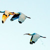 Description - White Ibis in Flight <b>Title - Ibis Trio, One Bringing Up the Rear</b> <i>- Leonard Friedman</i>
