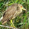 Description - Juvenile Black-Crowned Night Heron <b>Title - Juvenile Black-Crowned Night Heron</b> <i>- Mark Ladenson</i>