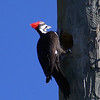Description - Pileated Woodpecker  <b>Title - Woodpecker</b> <i>- Ira Rosenthal</i>