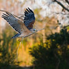 Description - Red-Shouldered Hawk Building Nest  <b>Title - Remodeling the Nest</b> Honorable Mention <i>- Alan Crutcher</i>