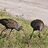 Description - Limpkins with Apple Snail  <b>Title - Limpkins with Apple Snail</b> <i>- Howard Bernstein</i>