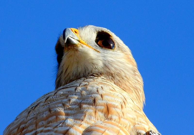 Description - Red-Shouldered Hawk  <b>Title - Red Shoulder</b> <i>- Dean Barrett</i>