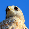 Description - Red-Shouldered Hawk  <b>Title - Red Shoulder</b> <i>- Dean Barrett</i>