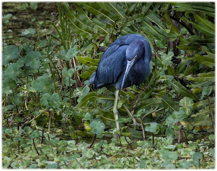 Description - Little Blue Heron  <b>Title - Beautiful Blue Heron</b> <i>- Debbie Rubin</i>
