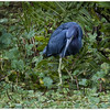 Description - Little Blue Heron  <b>Title - Beautiful Blue Heron</b> <i>- Debbie Rubin</i>