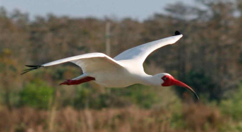 Description - White Ibis in Flight <b>Title - White Ibis</b> <i>- Deborah Moroney</i>