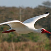 Description - White Ibis in Flight <b>Title - White Ibis</b> <i>- Deborah Moroney</i>