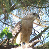 Description - Red-Shouldered Hawk with Prey <b>Title - Red-Shouldered Hawk</b> <i>- Mark Ladenson</i>