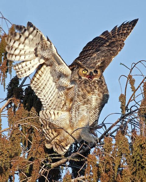 Description - Great Horned Owl  <b>Title - Great Horned Owl</b> 3rd Place <i>- Ed Mattis</i>