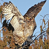 Description - Great Horned Owl  <b>Title - Great Horned Owl</b> 3rd Place <i>- Ed Mattis</i>