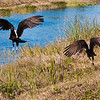 Description - Turkey Vultures <b>Title - Escaping</b> <i>- Mark Robbins</i>