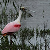 Description - Roseate Spoonbill  <b>Title - Roseate Spoonbill</b> <i>- Bob Phillips</i>