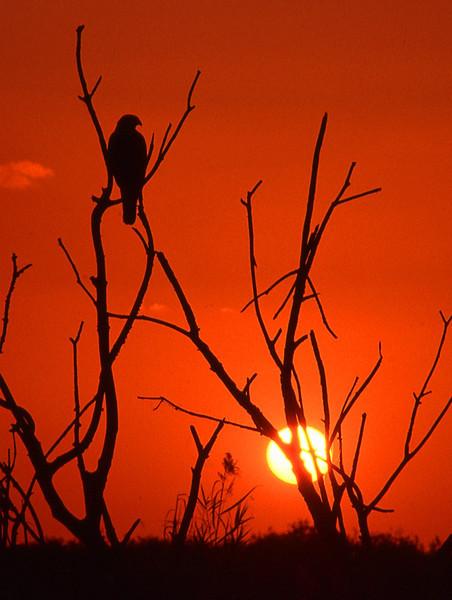 Description - Red-Shouldered Hawk at Sunset <b>Title - Hawk</b> 1st Place <i>- Jeremy Raines</i>