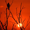 Description - Red-Shouldered Hawk at Sunset <b>Title - Hawk</b> 1st Place <i>- Jeremy Raines</i>
