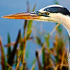 Description - Great Blue Heron <b>Title - Profile</b> <i>- Jim LaRocco</i>