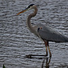 Description - Great Blue Heron <b>Title - Great Blue Heron</b> <i>- Morey Zuber</i>