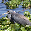 Description - Tricolored Heron <b>Title - Tricolored Heron</b> <i>- Mike Schengber</i>