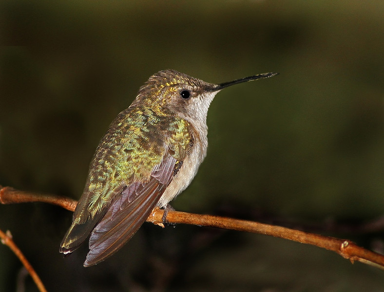 Description - Ruby-Throated Hummingbird <b>Title - Ruby-Throated Hummingbird</b> 2nd Place <i>- Ruth Pannunzio</i>