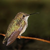 Description - Ruby-Throated Hummingbird <b>Title - Ruby-Throated Hummingbird</b> 2nd Place <i>- Ruth Pannunzio</i>