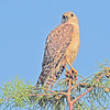 Description - Red-Shouldered Hawk <b>Title - Hawk</b> <i>- Harvey Mendelson</i>