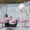 Description - Roseate Spoonbills and White Ibis <b>Title - Roseate Spoonbills and Visitor</b> <i>- Harvey Mendelson</i>