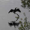 Description - Anhinga  <b>Title - Welcome to Everglades Day</b> <i>- Gabriele Little</i>