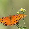 Description - Gulf Fritillary Butterfly on Spanish Needle <b>Title - Gulf Fritillary</b> <i>- Bob Phillips</i>