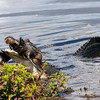 Description - Alligator Eating American Coot <b>Title - Alligator Feeding (2 of 4)</b> <i>- Barry Schein</i>