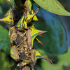 Description - Thorn Treehoppers <b>Title - Gathering of Thorn Bugs</b> <i>- Bridget Lyons</i>