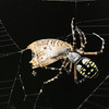 Description - Black and Yellow Garden Spider with White Peacock Butterfly Prey <b>Title - Black and Yellow Garden Spider with Prey</b> Honorable Mention <i>- Ruth Pannunzio</i>