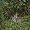 Description - Bobcat Kittens <b>Title - Meow Meow</b> <i>- Alan Crutcher</i>