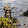 Description - Alligator Eating American Coot <b>Title - Alligator Feeding (3 of 4)</b> Honorable Mention <i>- Barry Schein</i>