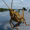 Description - Lubber Grasshopper at Boat Ramp <b>Title - Hello</b> 1st Place <i>- Jeremy Young</i>
