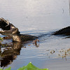 Description - Alligator Eating American Coot <b>Title - Alligator Feeding (4 of 4)</b> <i>- Barry Schein</i>