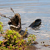 Description - Alligator Eating American Coot <b>Title - Alligator Feeding (1 of 4)</b> <i>- Barry Schein</i>