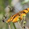 Description - Julia Butterfly on Spanish Needle <b>Title - Julia Butterfly</b> <i>- Bob Phillips</i>