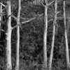 Description - Cypress Trees <b>Title - Trees</b> <i>- Harvey Mendelson</i>