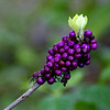 Description - Beauty Berry <b>Title - Purple Berries</b> <i>- Fran Swirsky</i>