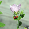Description - Hemiptera (Immature) on Saltmarsh Mallow <b>Title - Pink Flower with Visitor</b> 3rd Place <i>- Mark Robbins</i>
