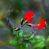 Description - Red Salvia/Scarlet Sage <b>Title - Face in the Sage</b> <i>- Fran Swirsky</i>